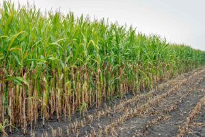 GM Bt Corn Caused Organ Damage and Altered Blood Biochemistry, and Threatened Male Fertility